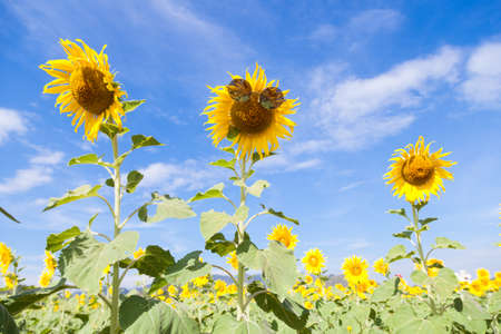 cleared: Glasses with sunflowers. Clear sky cleared in sunflower field. Stock Photo
