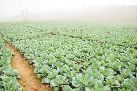 planted: Agriculture cabbage areas planted cabbage big mountain cold.