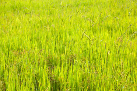 farming area: Rice. early rice in the rice farming area of cultivation.