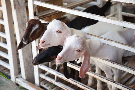 cabra: Las cabras están a la espera para la comida de los turistas traen. Cabra en la jaula