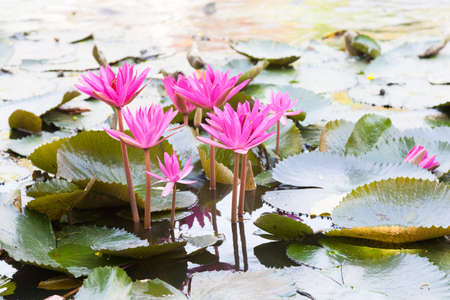 garden pond: Lotus in the pond. Many lotus flowers in the pond is in full bloom.