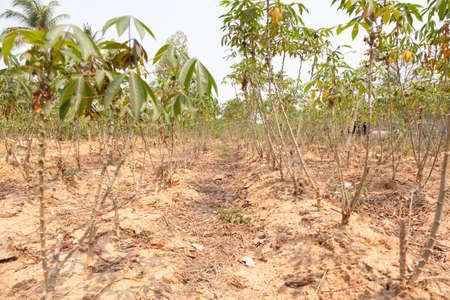 acreage: early cassava. Cassava plantation acreage planted areas of agricultural trade.