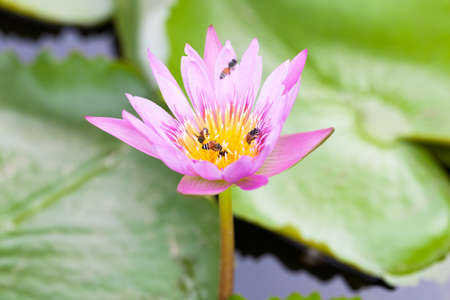 team lotus: Lotus flower and a bee. Helping bees for nectar together as a team.