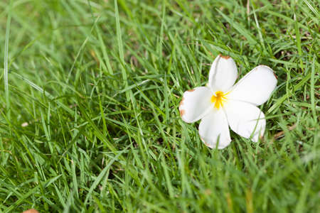 White flower that fell on the grass the flowers fall from the stock photo white flower that fell on the grass the flowers fall from the trees in the garden on the lawn mightylinksfo