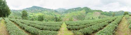 tea trees: Panorama plantation planted with tea plantations, farmers grow tea trees. Mountain areas for plantations. Stock Photo