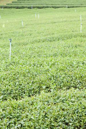 tea trees: Plantation planted with tea plantations, farmers grow tea trees. Mountain areas for plantations.