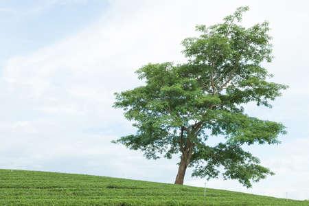 tree farming: Big Tree. In Tea Plantation Tea Plantation in arable farming on the mountain. Stock Photo