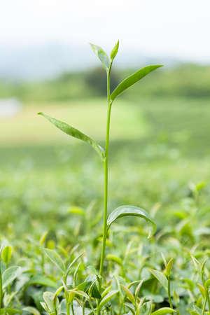 acreage: Top of the tea is the tea to be harvested. Farm acreage