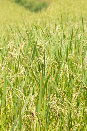 agricultural crops: Rice in the rice fields Plantations, agricultural crops that are harvested grains close.
