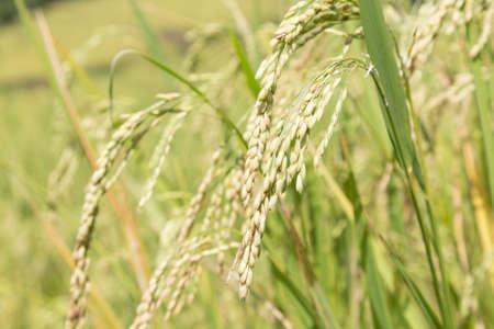 farming area: ears of rice. The rice grains farming area power plant.