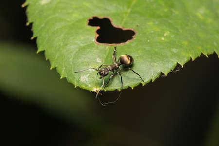 hormiga hoja: Macro ant on a leaf Ant on a leaf.