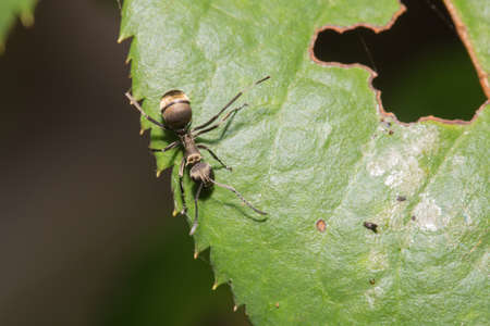 hormiga hoja: hormiga macro en una hoja de hormiga en una hoja. Foto de archivo