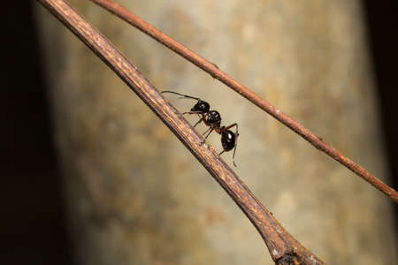 formica: Black ant perched on a branch. Black ant foraging area branches. And for victims
