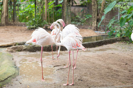 Flamingos are finding food in the zoos caretaking area that feeds birds on the ground. Stock Photo