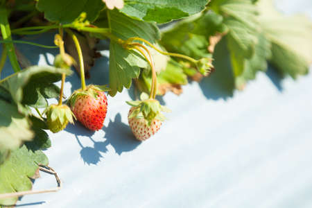 Closeup young strawberry on their branch in strawberry farm Stock Photo