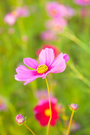 The blossom purple yellow flower on flower garden Stock Photo