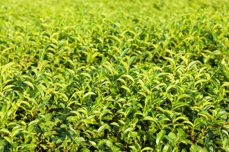 Farm of tea on local field in the midday sunshine