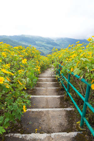 Pedestrian ladder is near flower field. Yellow flower field on mountain and winter season.