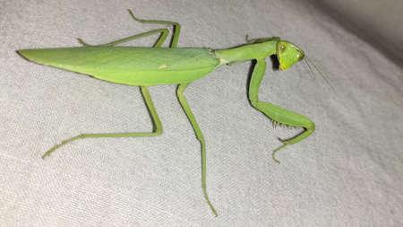 Green Locust aka Grass hopper closeup view Standard-Bild