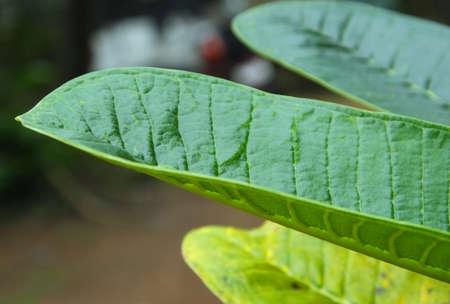 papaya flower: Large Green Leaf Stock