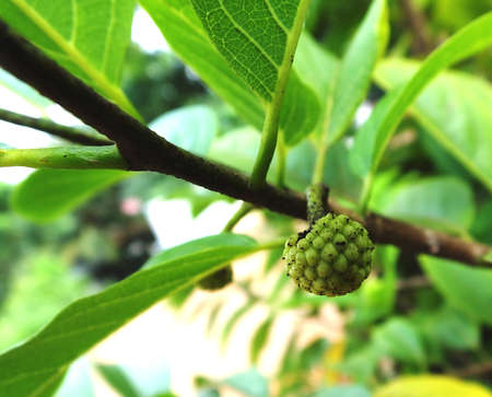 Small Green Seed of Ruman Fruit photo