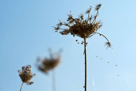 lugubrious: withered flower at a sunny winterday