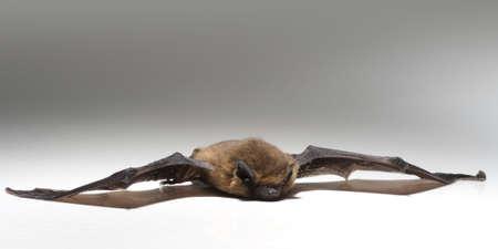fruit bat: Chiroptera lies on white background Stock Photo
