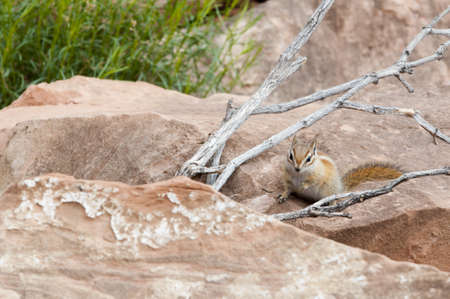 chipmunk alias Tamias sits on red stone between wood knobs and grass photo