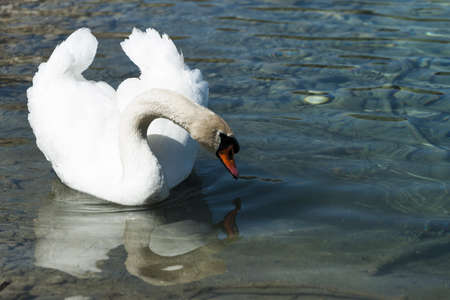 huge white swan swimming in lake at wonderful summer day Stock Photo - 13422728