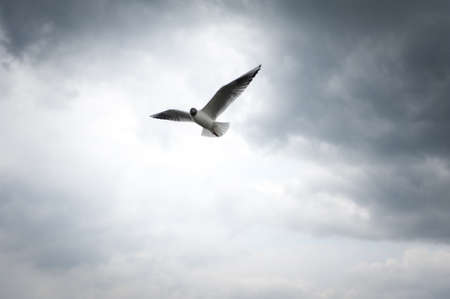 black-headed gull bird flys in front of dramatic cloud sky photo