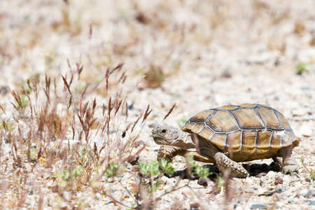 walking turtle at american desert between grass and gravel photo