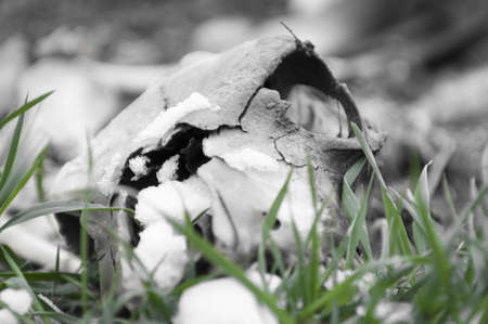 skull of reptile lying in snow and green grass photo