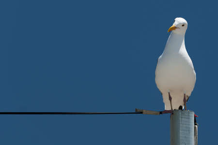 wingspread: Seagull sitting on power supply line and is looking curious