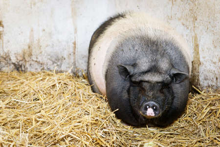 pot-bellied pig standing or lying in hay or straw photo