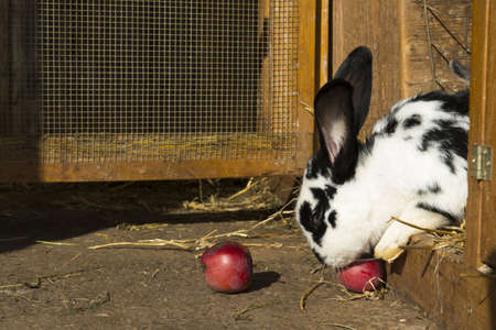 the hutch: white and black dotted rabbit eats an red apple at his hutch Stock Photo