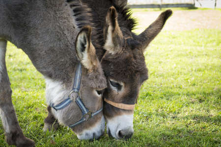 donkeys: two donkeys eating grass with heads touching each other Stock Photo