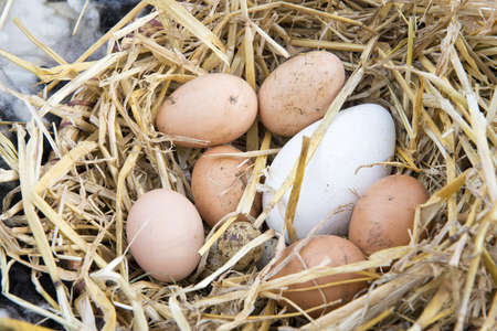 nested: different brown and white eggs nested in straw Stock Photo