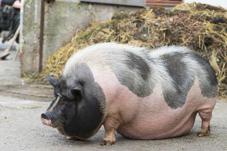 pig nose: pink and black speckled pot-bellied pig stands in front of  dungheap