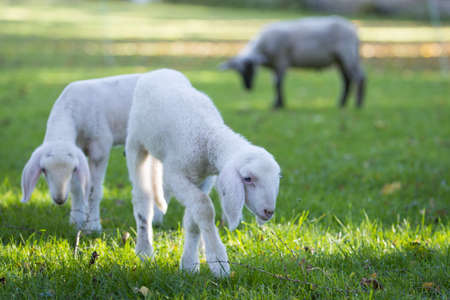 graze: two very young lambs grazing at meadow with mother in background