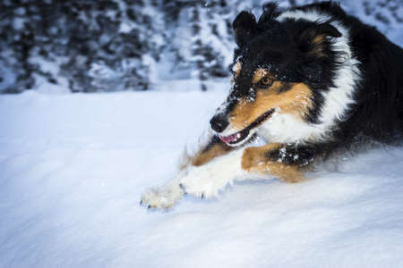 running border collie dog jumps over snow hump photo