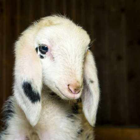 sheep eye: head of innocent newborn black dotted lamb looking in his barn Stock Photo