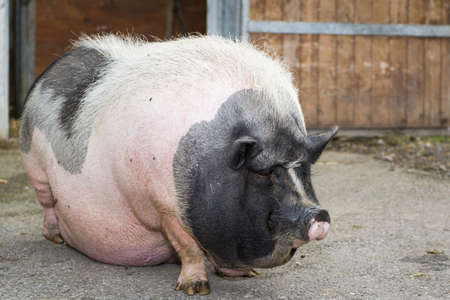 big belly: fat pink and black pot-bellied pig standing in front of farm