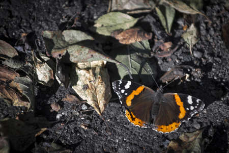 vanessa: Admiral Vanessa atalanta butterfly sitting on bottom between leafes Stock Photo