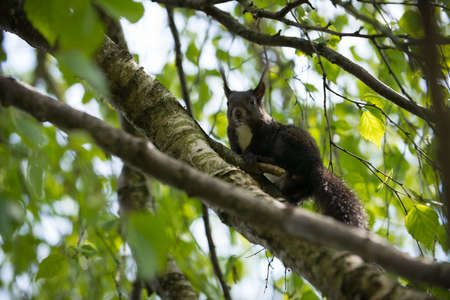 animal limb: curious brown squirrel in limbs of tree