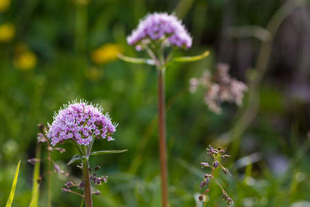 valerian: viola montagna roccia nana valeriana