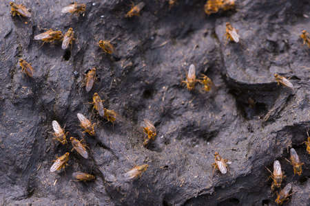 several brown flies on dry cow dung  photo