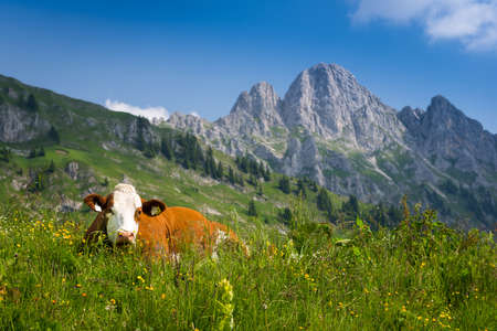 brown milk cow lying in meadow with mountains in back photo