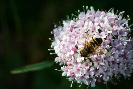 valerian: bee on lesser valerian alp flower