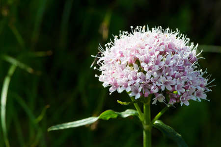 bloomer: lesser valerian alpine flower Stock Photo