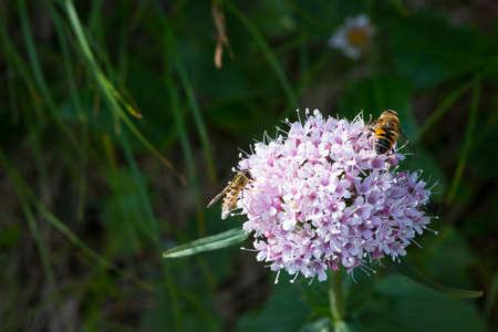 valerian plant: bee and flower fly on lesser valerian